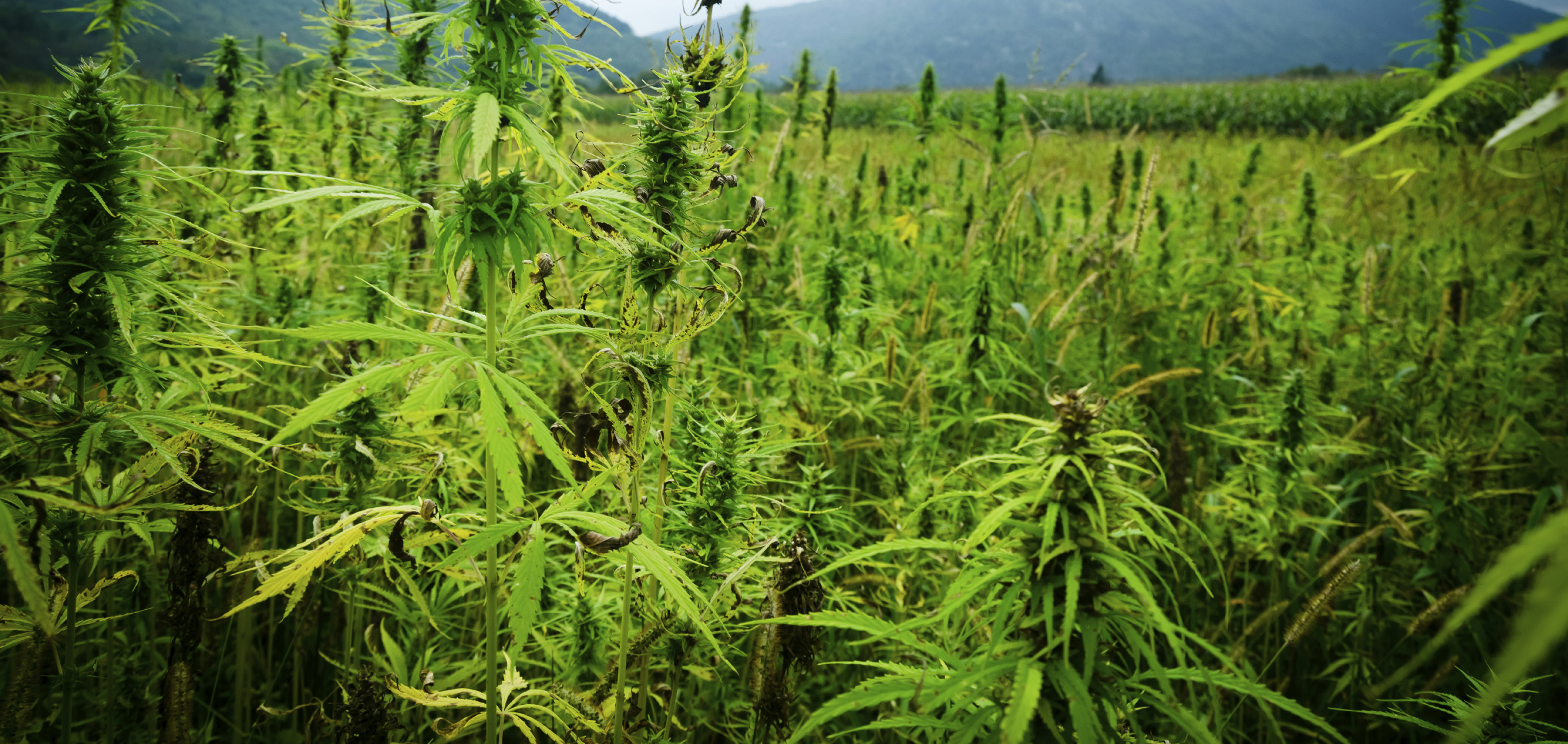 Hemp Project Development